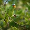 Amazonan belocely - Amazona albifrons - White-fronted Amazon Parrot 3588