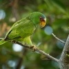 Amazonan belocely - Amazona albifrons - White-fronted Amazon Parrot 3632