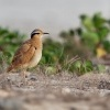 Behulik plavy - Cursorius cursor - Cream-colored Courser o0166