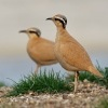 Behulik plavy - Cursorius cursor - Cream-colored Courser o4020