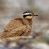 Behulik plavy - Cursorius cursor - Cream-colored Courser o9023