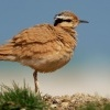 Behulik plavy - Cursorius cursor - Cream-colored Courser o9675