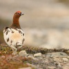Belokur rousny - Lagopus lagopus - Willow Ptarmigan 3844