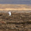 Belokur rousny - Lagopus lagopus - Willow Ptarmigan 5817