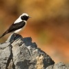 Belorit okrovy - Oenanthe hispanica - Black-eared Wheatear 0202ru