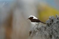 Belorit okrovy - Oenanthe hispanica - Black-eared Wheatear 0312ru