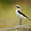 Belorit sedy - Oenanthe oenanthe - Northern Wheatear 5463