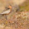 Brehous rudy - Limosa lapponica - Bar-tailed Godwit 5756