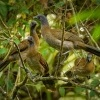 Cacalaka sedohlava - Ortalis cinereiceps - Grey-headed Chachalaca 0553