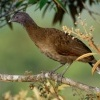 Cacalaka sedohlava - Ortalis cinereiceps - Grey-headed Chachalaca o1614