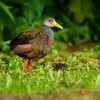 Chrastal beloprsy - Aramides albiventris - Russet-naped Wood-Rail 4417