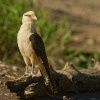 Cimango zlutavy - Milvago chimachima - Yellow-headed Caracara 8818