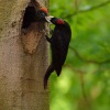 Datel cerny - Dryocopus martius - Black Woodpecker 0455