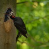 Datel cerny - Dryocopus martius - Black Woodpecker 0464