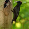 Datel cerny - Dryocopus martius - Black Woodpecker 0465v