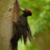Datel cerny - Dryocopus martius - Black Woodpecker 0525
