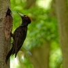 Datel cerny - Dryocopus martius - Black Woodpecker 0530