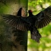 Datel cerny - Dryocopus martius - Black Woodpecker 1475