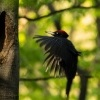 Datel cerny - Dryocopus martius - Black Woodpecker 1601