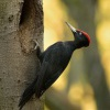 Datel cerny - Dryocopus martius - Black Woodpecker 1965