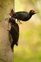 Datel cerny - Dryocopus martius - Black Woodpecker 2085