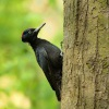 Datel cerny - Dryocopus martius - Black Woodpecker 5644