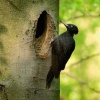 Datel cerny - Dryocopus martius - Black Woodpecker 5665