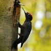 Datel cerny - Dryocopus martius - Black Woodpecker 8353