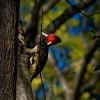 Datel svetlezoby - Campephilus guatemalensis - Pale-billed woodpecker 2917