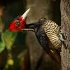 Datel svetlezoby - Campephilus guatemalensis - Pale-billed woodpecker 2921