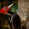 Datel svetlezoby - Campephilus guatemalensis - Pale-billed woodpecker 2929