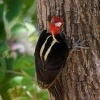 Datel svetlezoby - Campephilus guatemalensis - Pale-billed woodpecker 2959