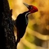 Datel svetlezoby - Campephilus guatemalensis - Pale-billed woodpecker 2995