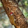 Datel zlatoocasy - Campethera abingoni - Golden-tailed Woodpecker o6026