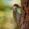 Datel zlatoocasy - Campethera abingoni - Golden-tailed Woodpecker o6068-1