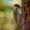 Datel zlatoocasy - Campethera abingoni - Golden-tailed Woodpecker o6068
