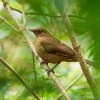 Drozd hnedy - Turdus grayi - Clay-colored Thrush o1672