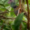 Drozd sedohrdly - Catharus gracilirostris - Black-billed Nightingale-thrush o1477