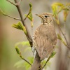 Drozd zpevny - Turdus philomelos - Song Thrush 5220