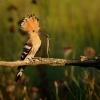 Dudek chocholaty - Upupa epops - Common Hoopoe o8391
