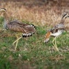 Dytik dvoupruhy - Burhinus bistriatus - Double-striped Thick-knee o9594