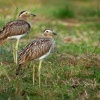 Dytik dvoupruhy - Burhinus bistriatus - Double-striped Thick-knee o9611