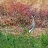 Dytik dvoupruhy - Burhinus bistriatus - Double-striped Thick-knee o9626