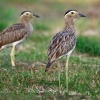Dytik dvoupruhy - Burhinus bistriatus - Double-striped Thick-knee o9642