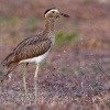 Dytik dvoupruhy - Burhinus bistriatus - Double-striped Thick-knee o9710