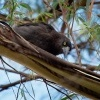 Fletnak belority - Strepera versicolor - Grey Currawong o0537