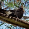 Fletnak belority - Strepera versicolor - Grey Currawong o0542