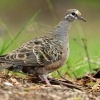 Holub bronzovokridly - Phaps chalcoptera - Common Bronzewing o2786