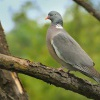 Holub hrivnac - Columba palumbus - Common Wood-Pigeon 1882