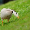 Husa indicka - Anser indicus - Bar-headed Goose 4229